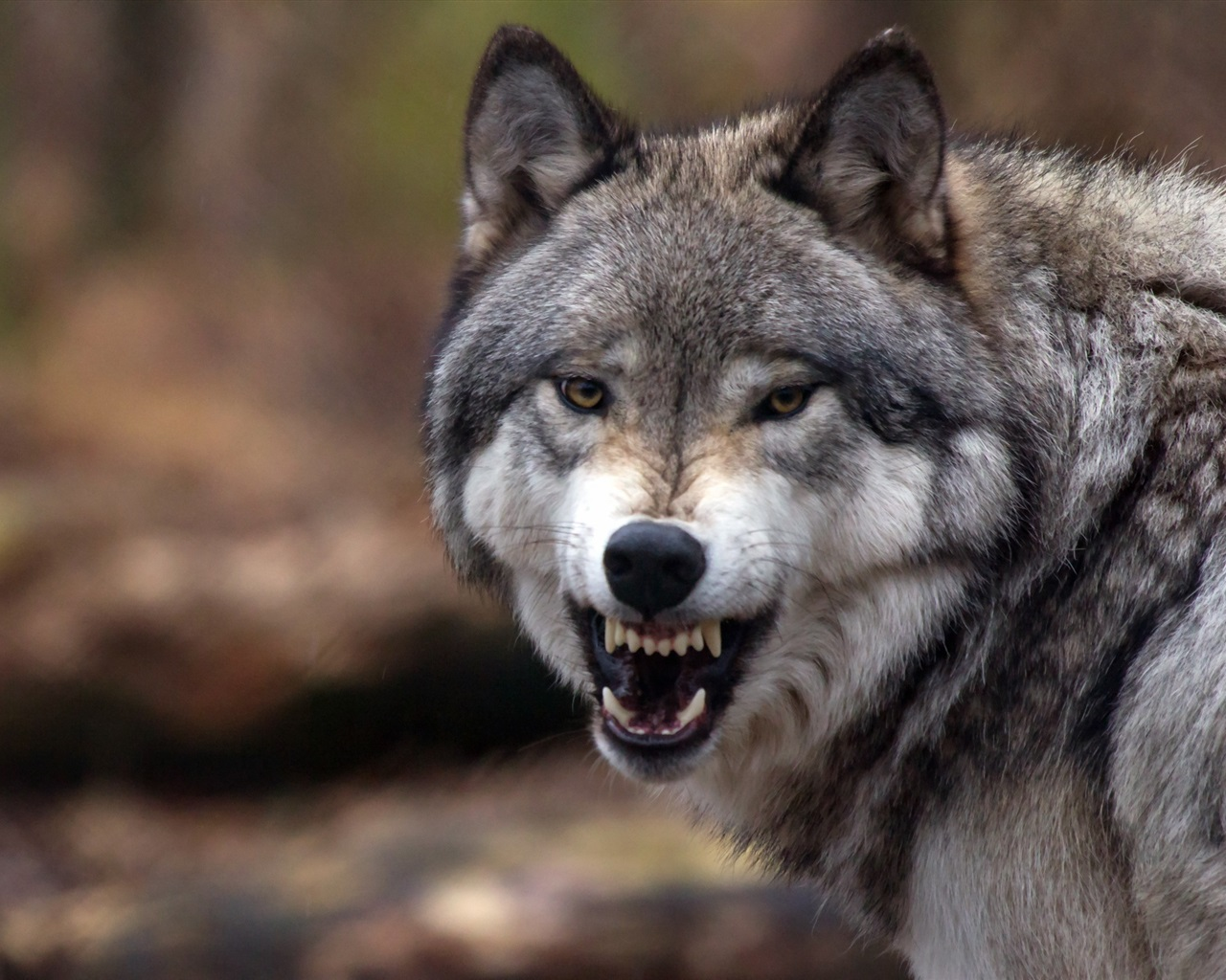 Wallpaper Wolf close-up, grin, angry, forest 2560x1600 HD ... | 1280 x 1024 jpeg 346kB