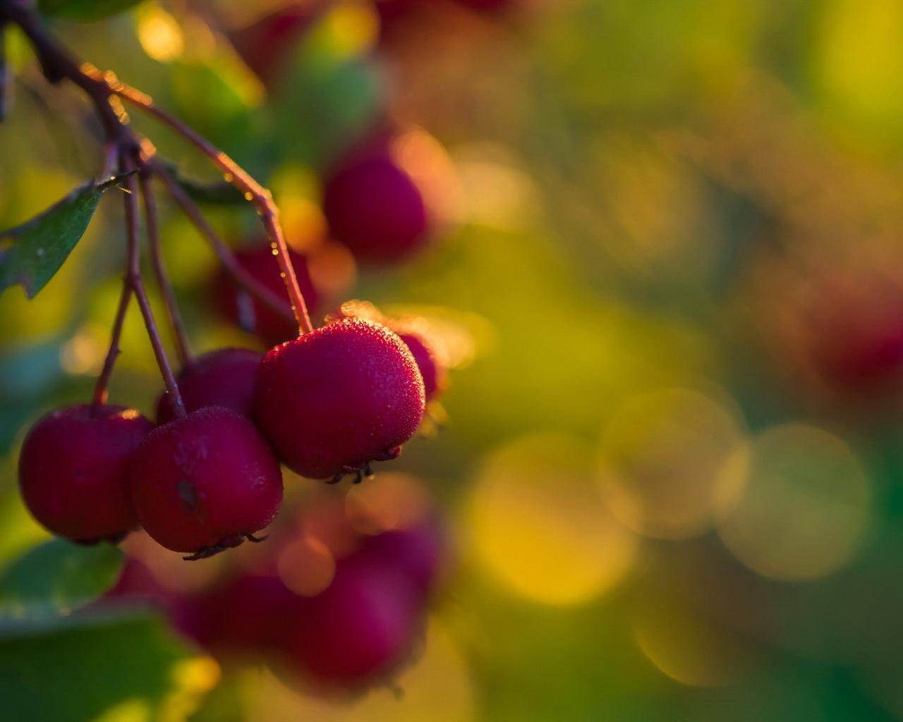 Hawthorn, Red Fruit, Fresh Wallpaper