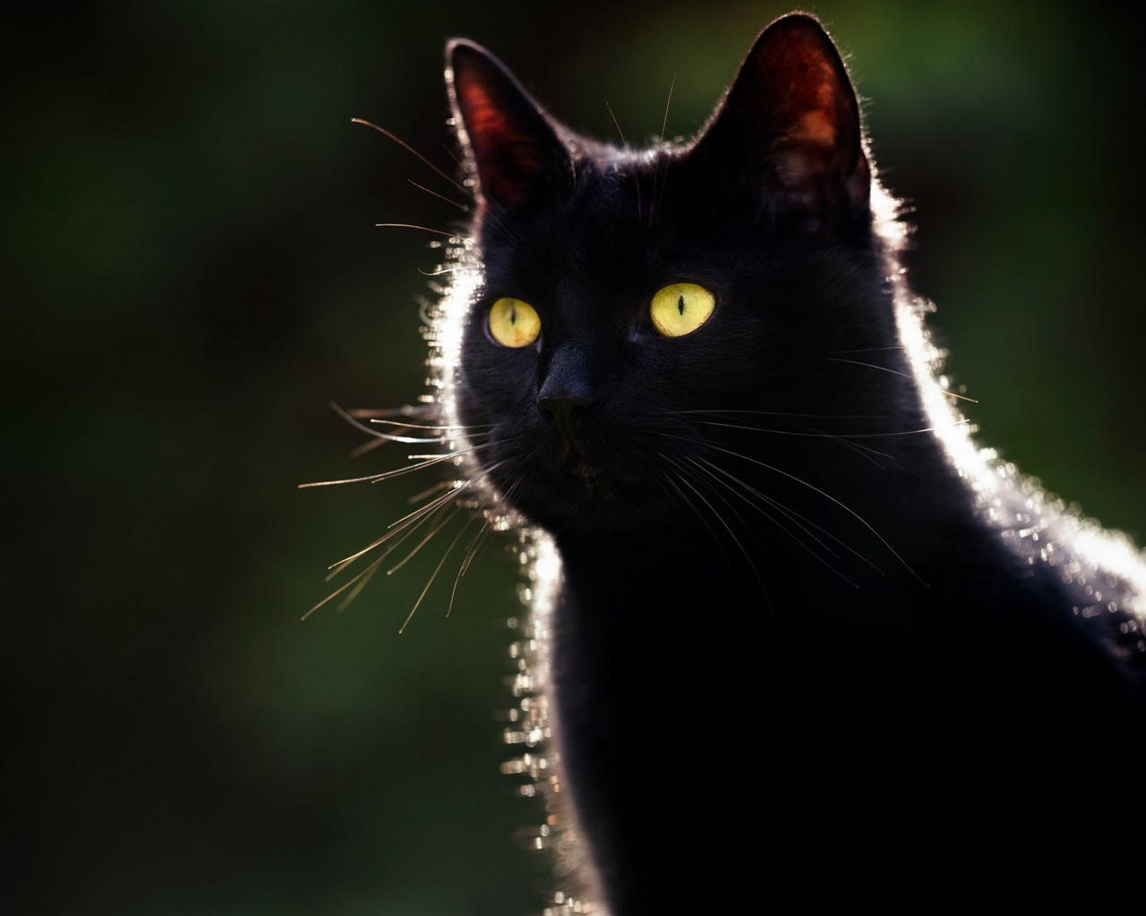 Black Cat Yellow Eyes Backlight Dark Background 640x1136 Iphone 5 5s 5c Se Wallpaper Background Picture Image