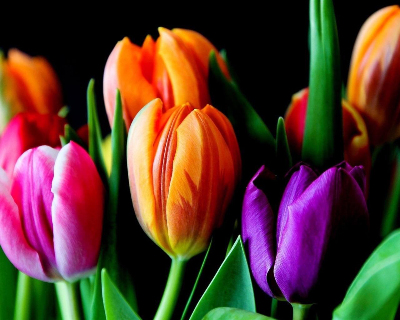 Wallpaper Colorful Tulips Pink Orange Purple Flowers Black