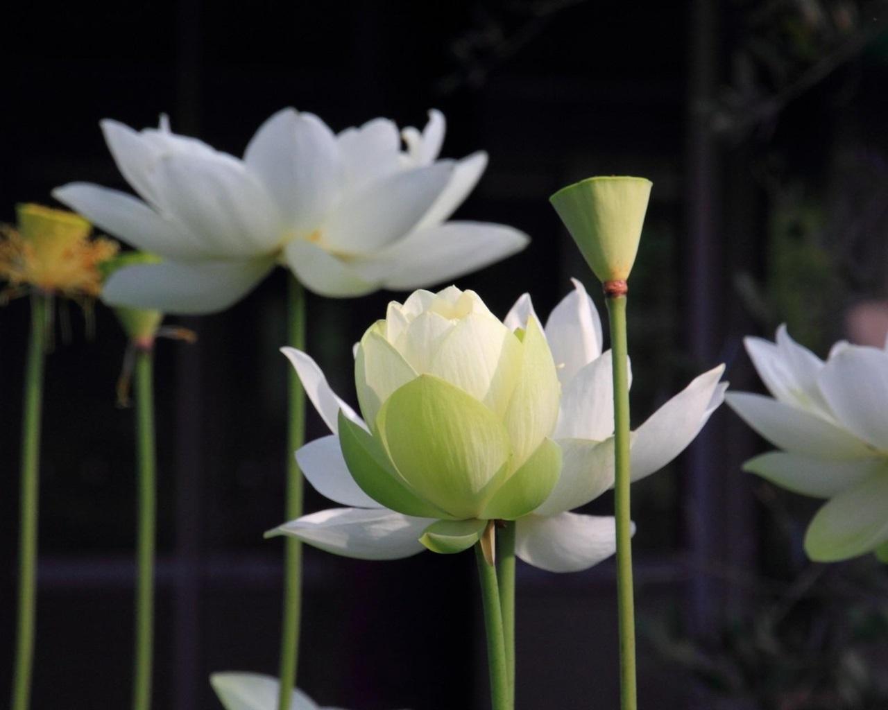 下载壁纸 1280x1024 白莲花,茎 桌面背景图片