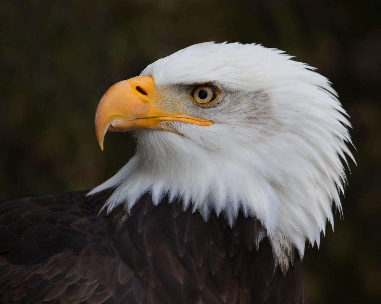 eagle 1280x1024 wallpaper - photo #4