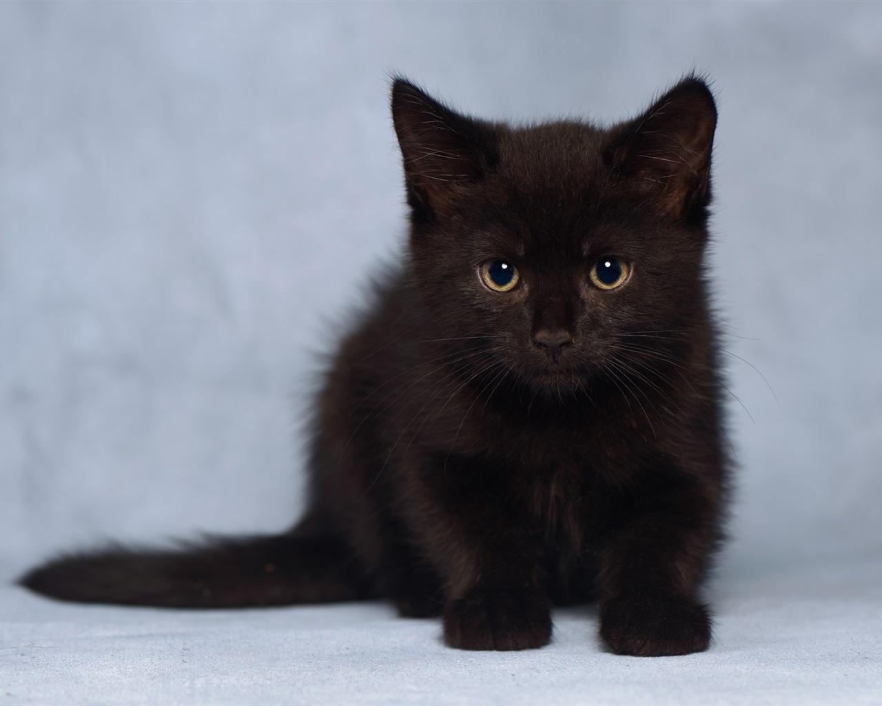 可爱的毛茸茸的黑色小猫 壁纸