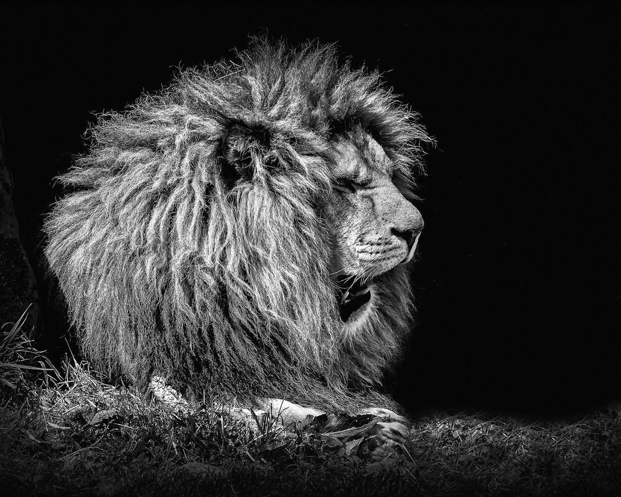 Lion, Black Background 750x1334 IPhone 8/7/6/6S Wallpaper