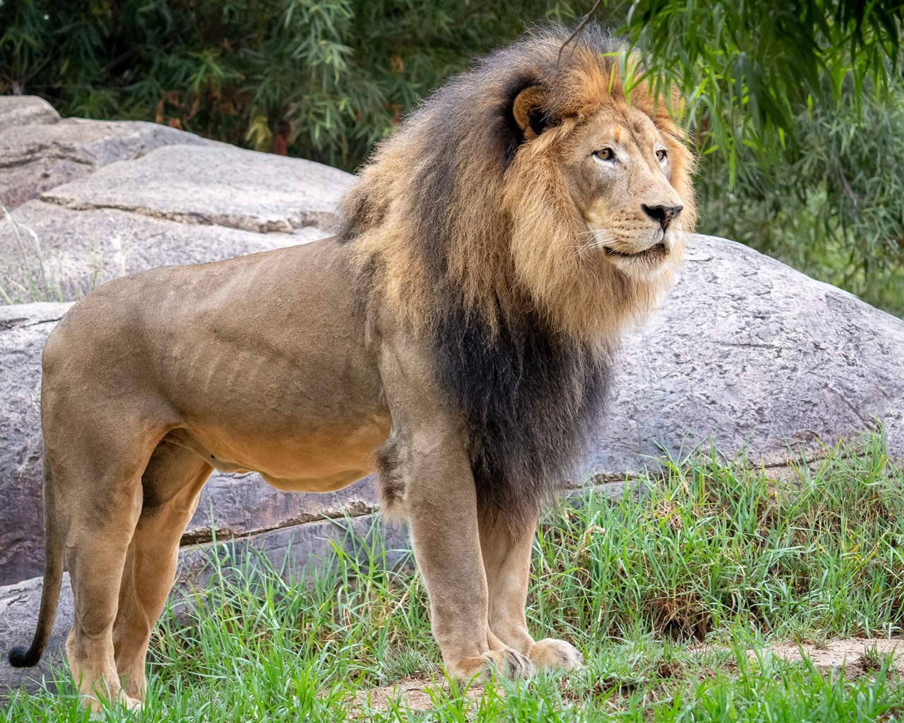 Lion, Mane, Wildlife 1080x1920 IPhone 8/7/6/6S Plus