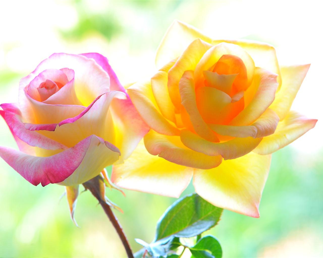 желто-розовые розы картинки обустройства вентиляции частном