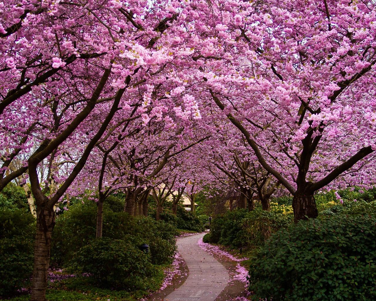 Цветущие сады сакуры картинки