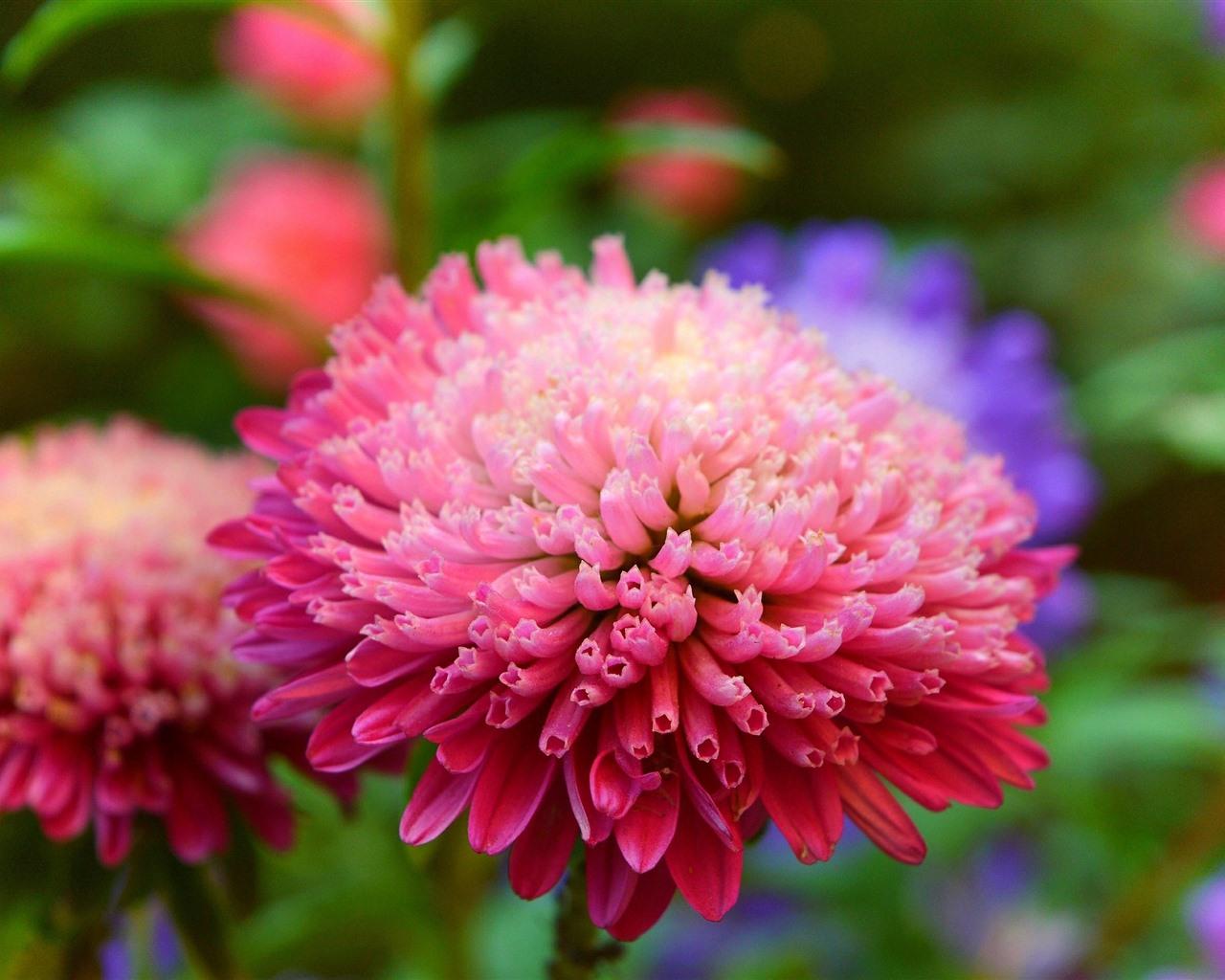 Pink Flower Macro Photography, Petals, Chamomile 828x1792
