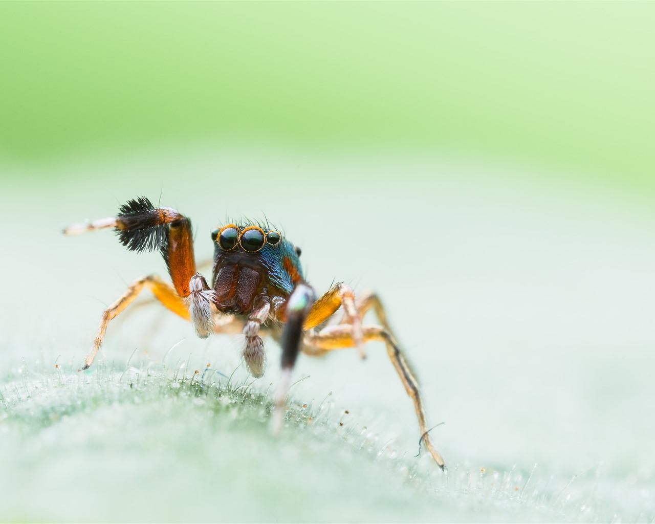 Обои насекомое, паук, лист. Макро foto 11