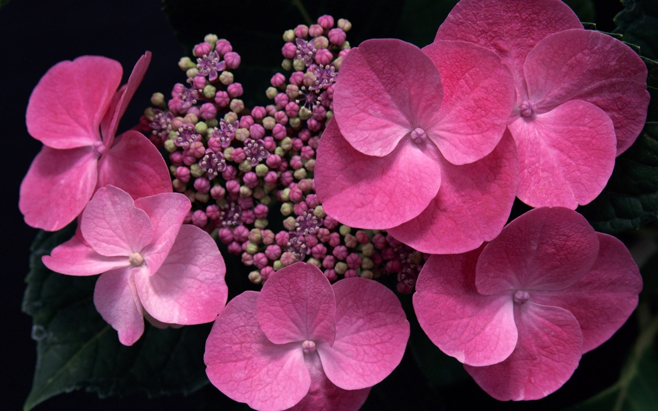 Pink flowers wallpaper - 1280x800