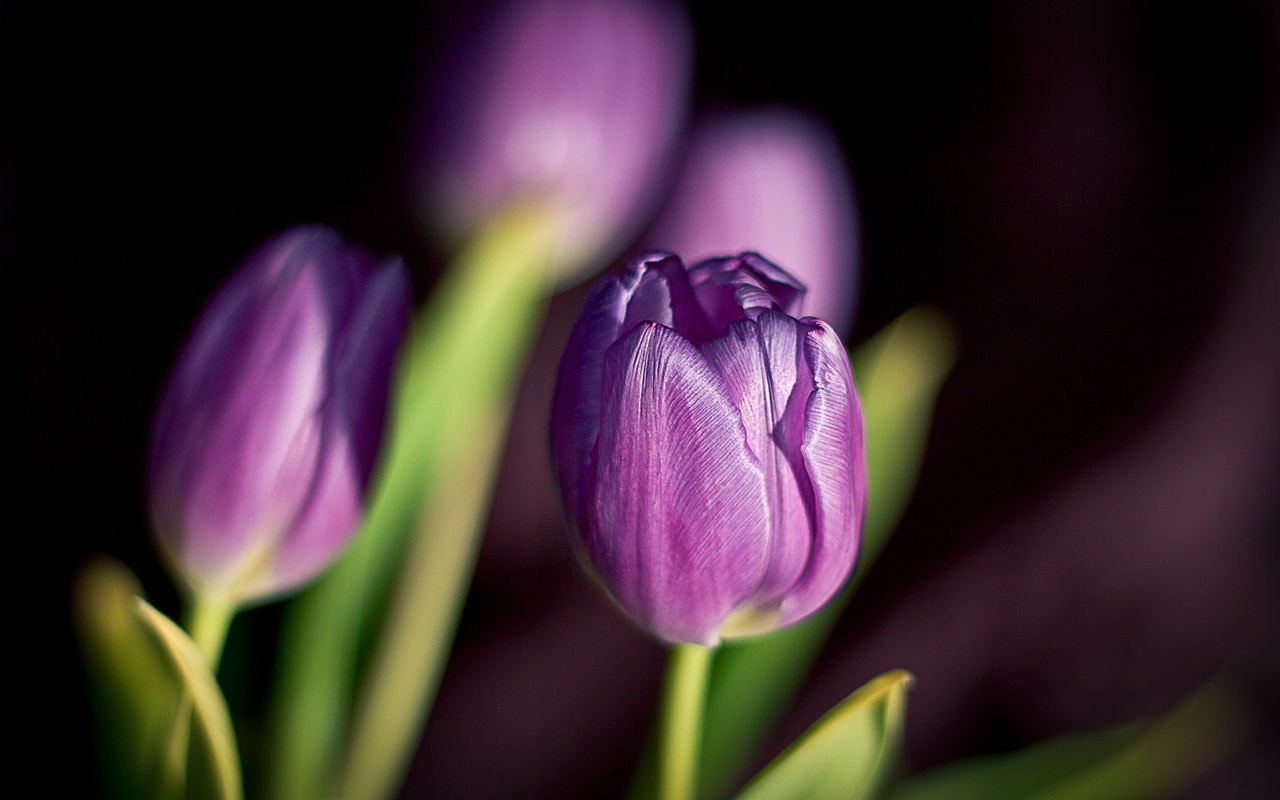 Flowers tulips purple petals of spring wallpaper - 1280x800