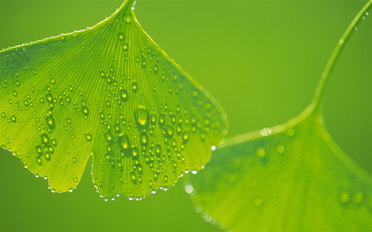 Ginkgo leaves with water drops close-up wallpaper - 1280x800