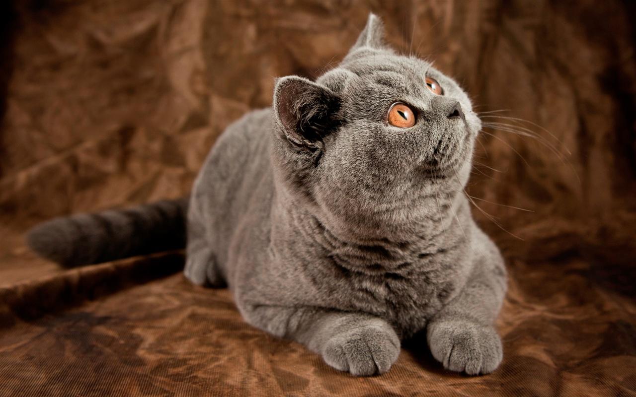 灰色猫惊讶的表情 壁纸图片