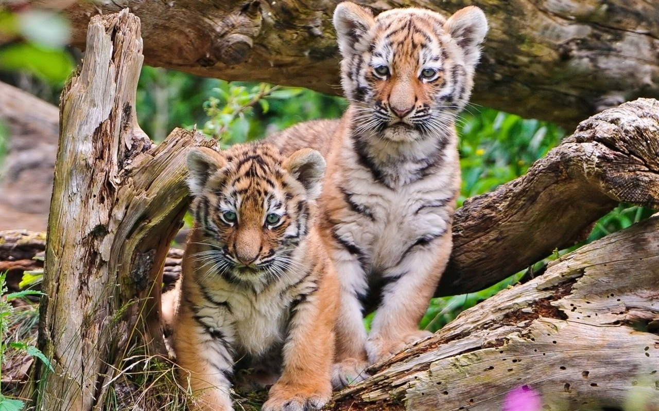 Tiger Art Wallpaper Jpg 960 800: Tiger Cubs Close-up Fonds D'écran