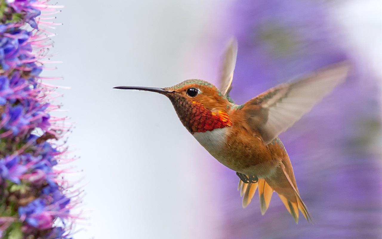 Download hintergrundbilder 1280x800 hummingbird fliegen for Fliegen in blumen