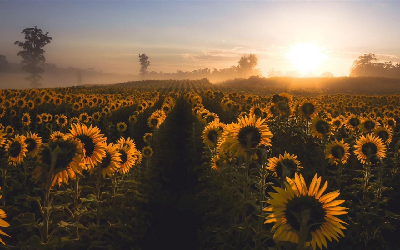 download wallpaper 1280x800 sunflowers morning fog