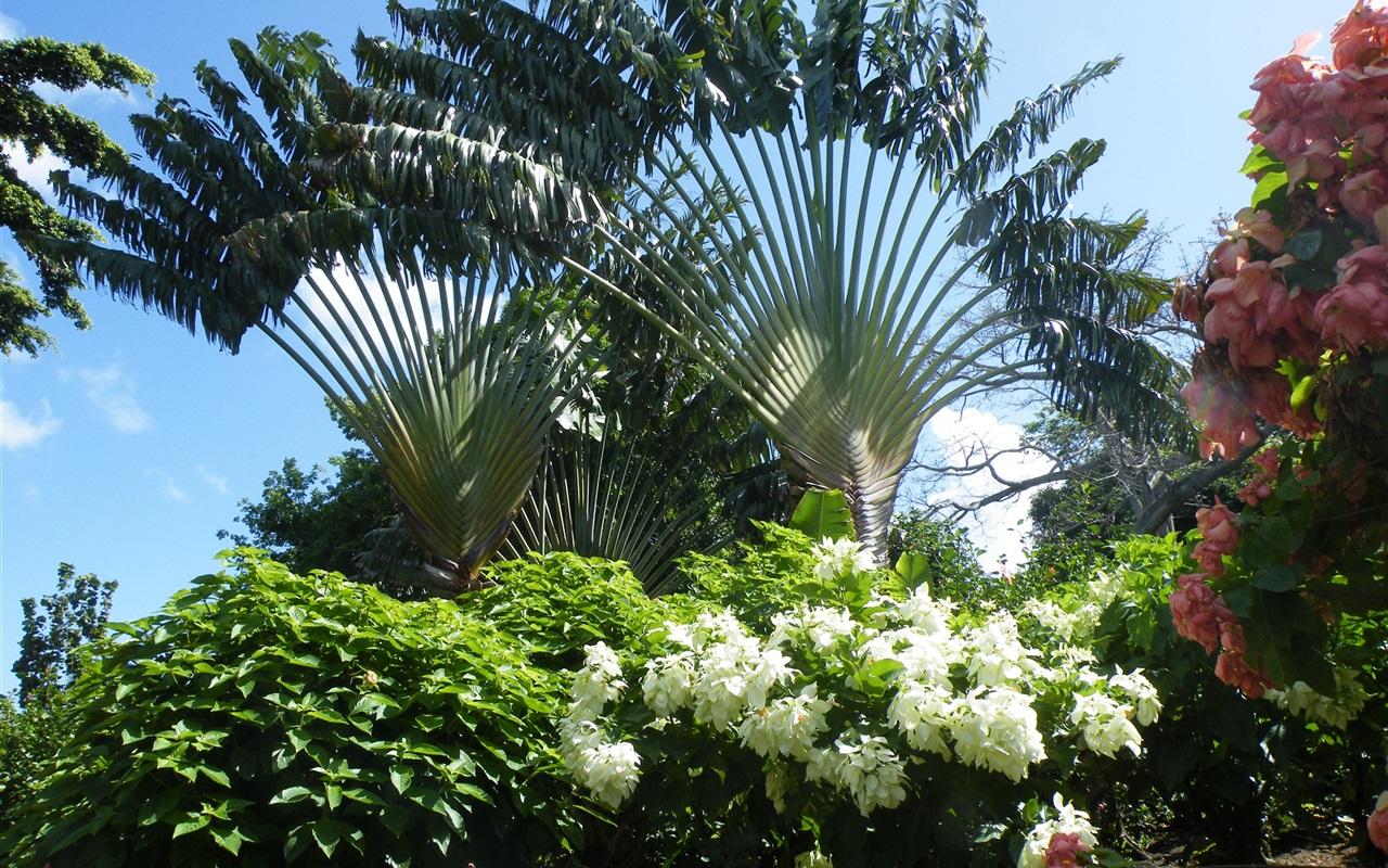 Ravinala, Blumen, Madagaskar Hintergrundbilder | 1280x800 ...