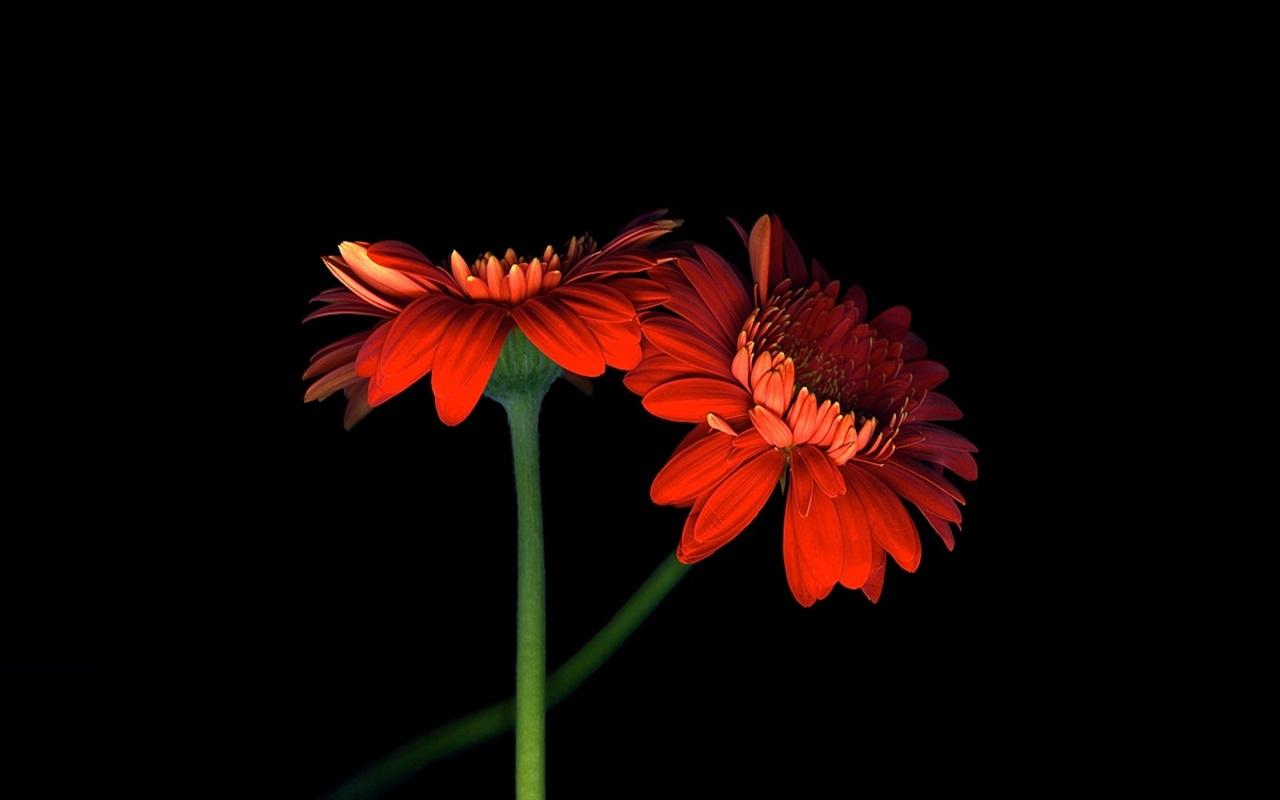 ダウンロード壁紙 1280x800 二つのオレンジ色のガーベラの花、黒の背景 HDのデスクトップの背景