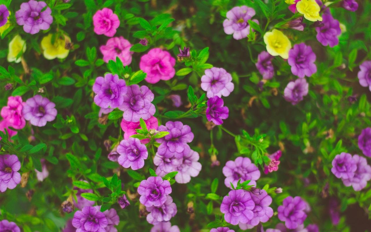 Fondos De Pantalla Iphone 7 Plus: Flores Hermosas, Rosa, Púrpura, Amarillo 1080x1920 IPhone