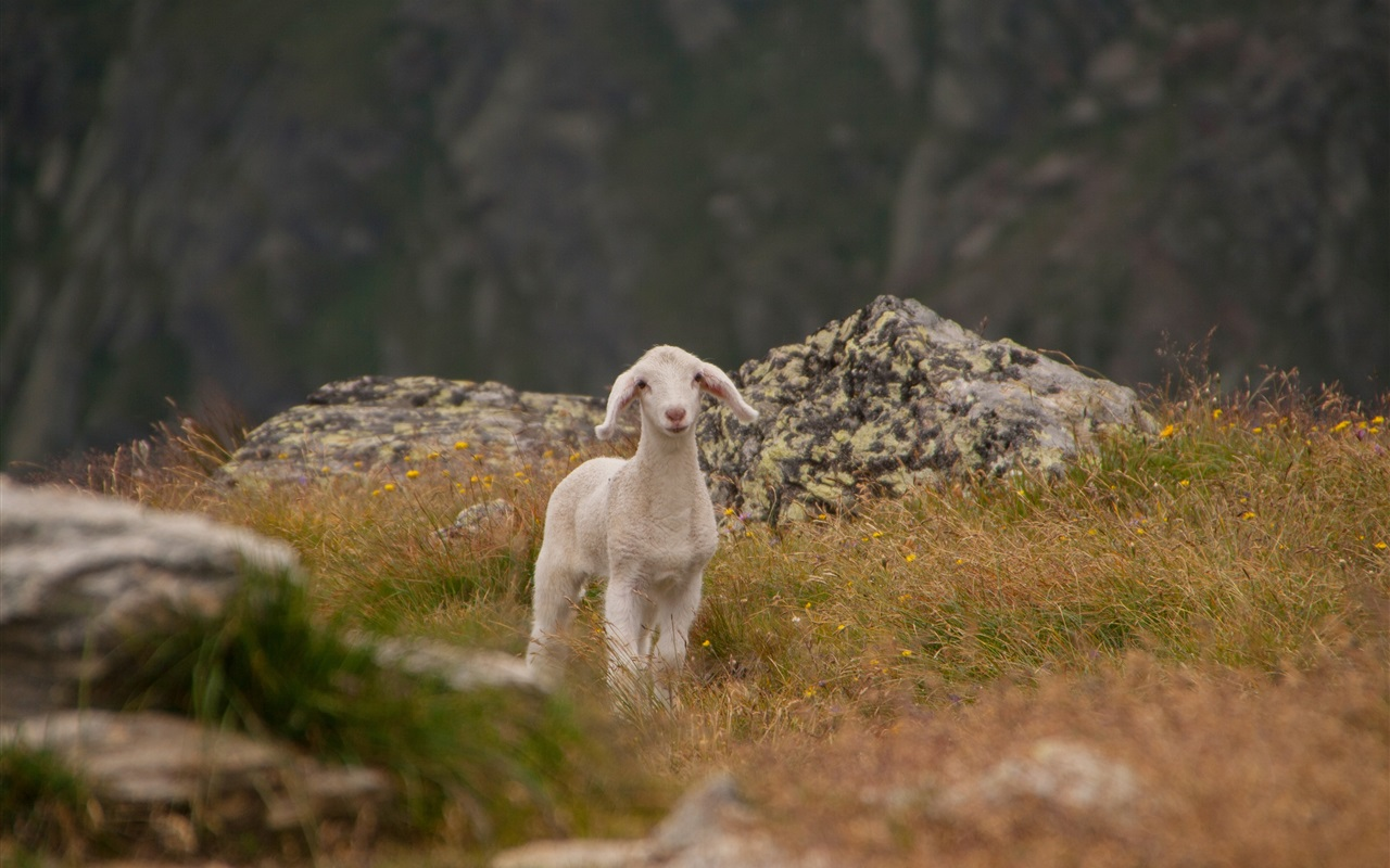 Cute lamb, sheep, grass, mountains wallpaper 1280x800