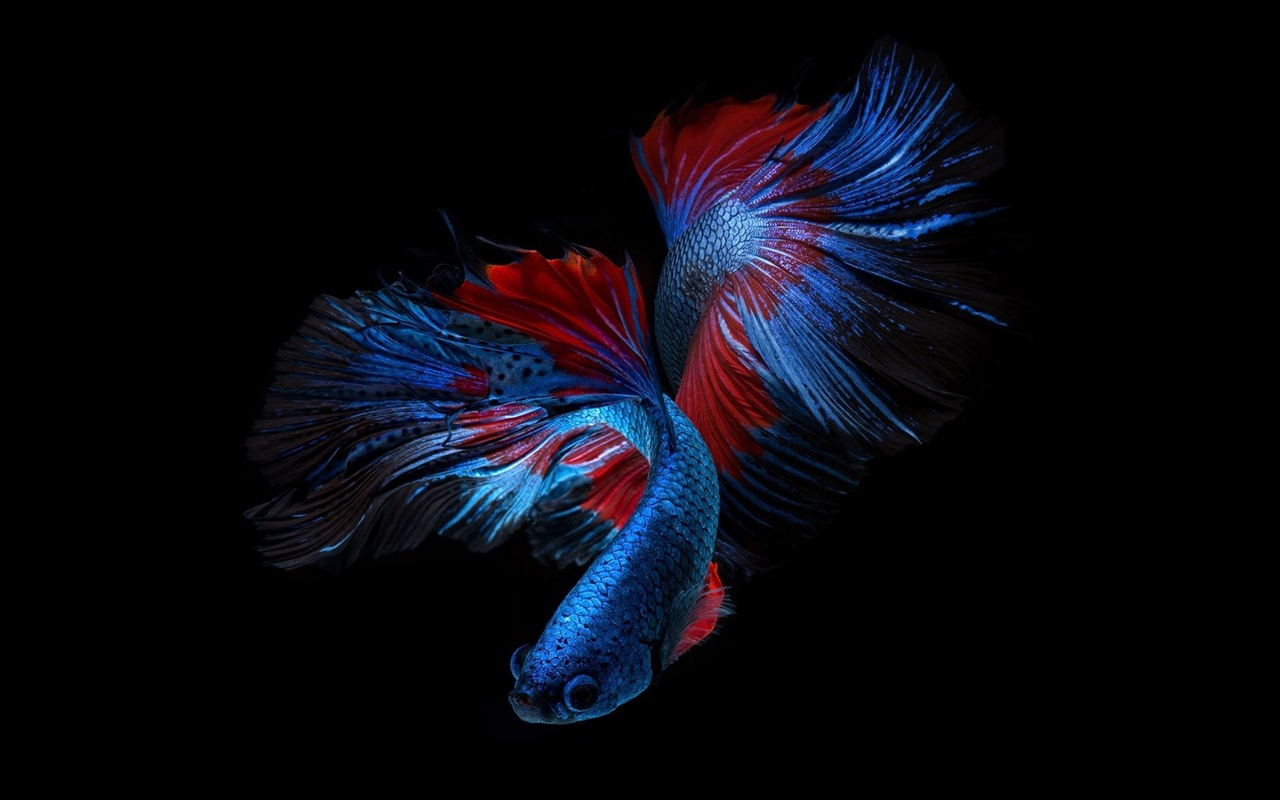 Beautiful Blue Fish, Black Background 640x1136 IPhone 5/5S