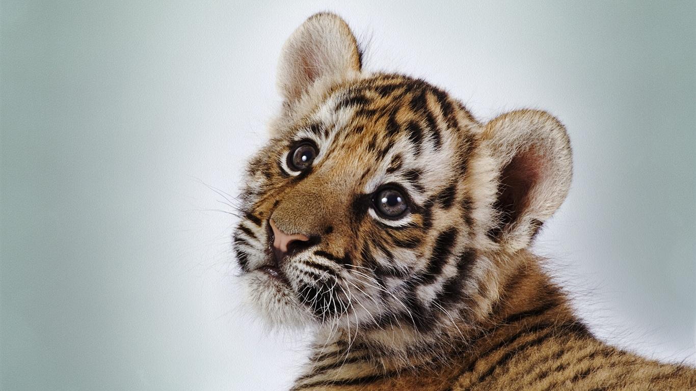 Nette kleine tiger hintergrundbilder - 1366x768