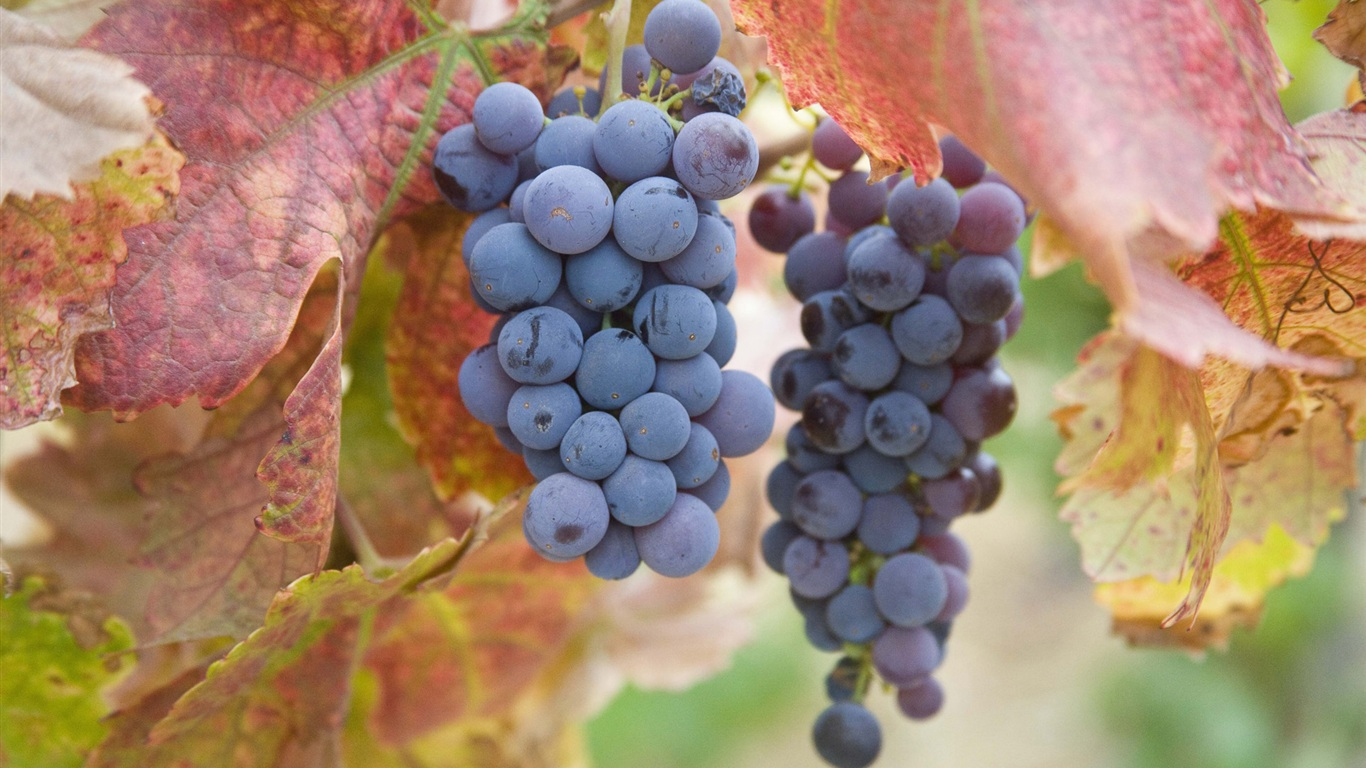 Ripe purple grapes wallpaper - 1366x768