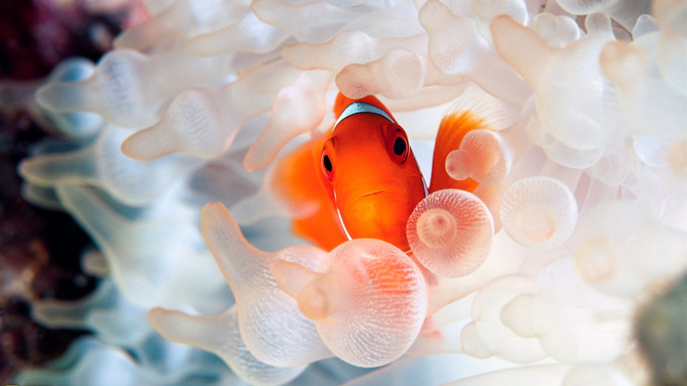 Download Wallpaper 1366x768 Clown fish ocean underwater ...