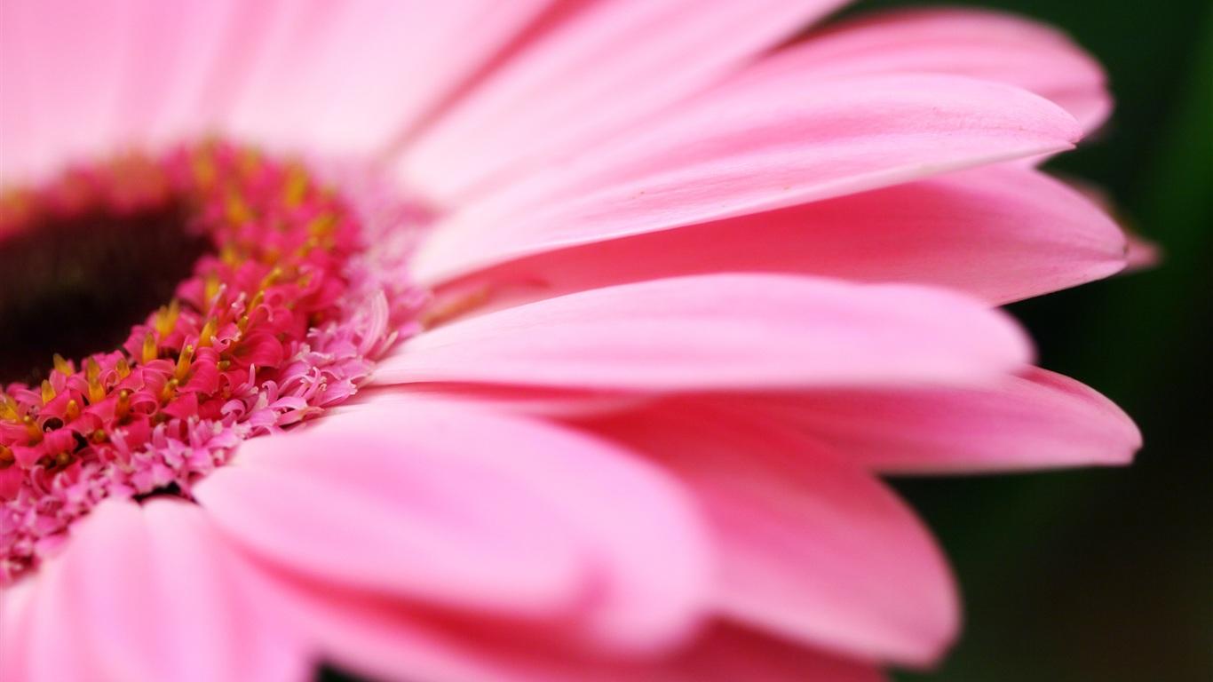 Rosa blume makro hintergrundbilder - 1366x768
