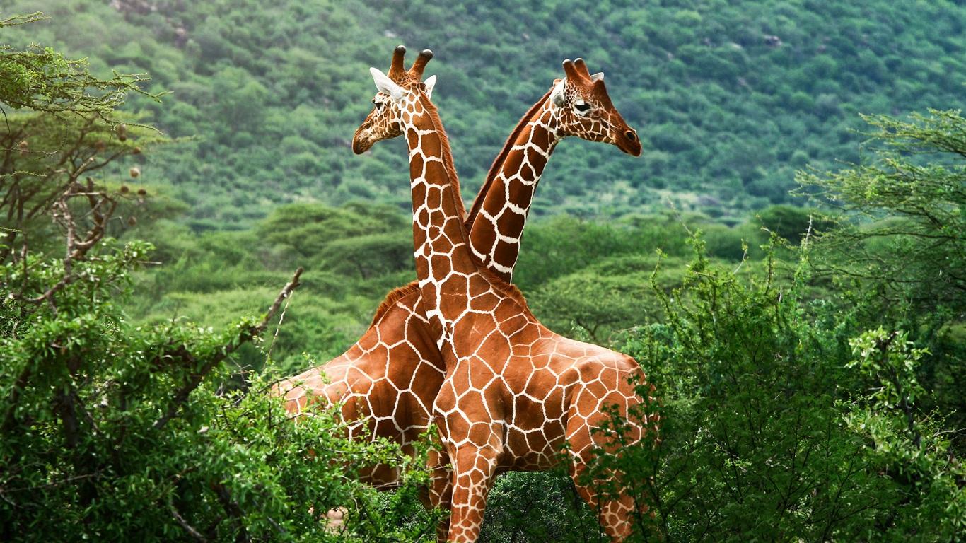 草原的长颈鹿 1366x768 壁纸下载 -非洲大草原的长颈鹿 1366x768