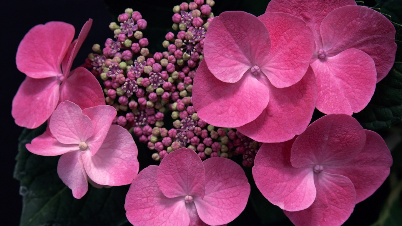 Pink flowers wallpaper - 1366x768