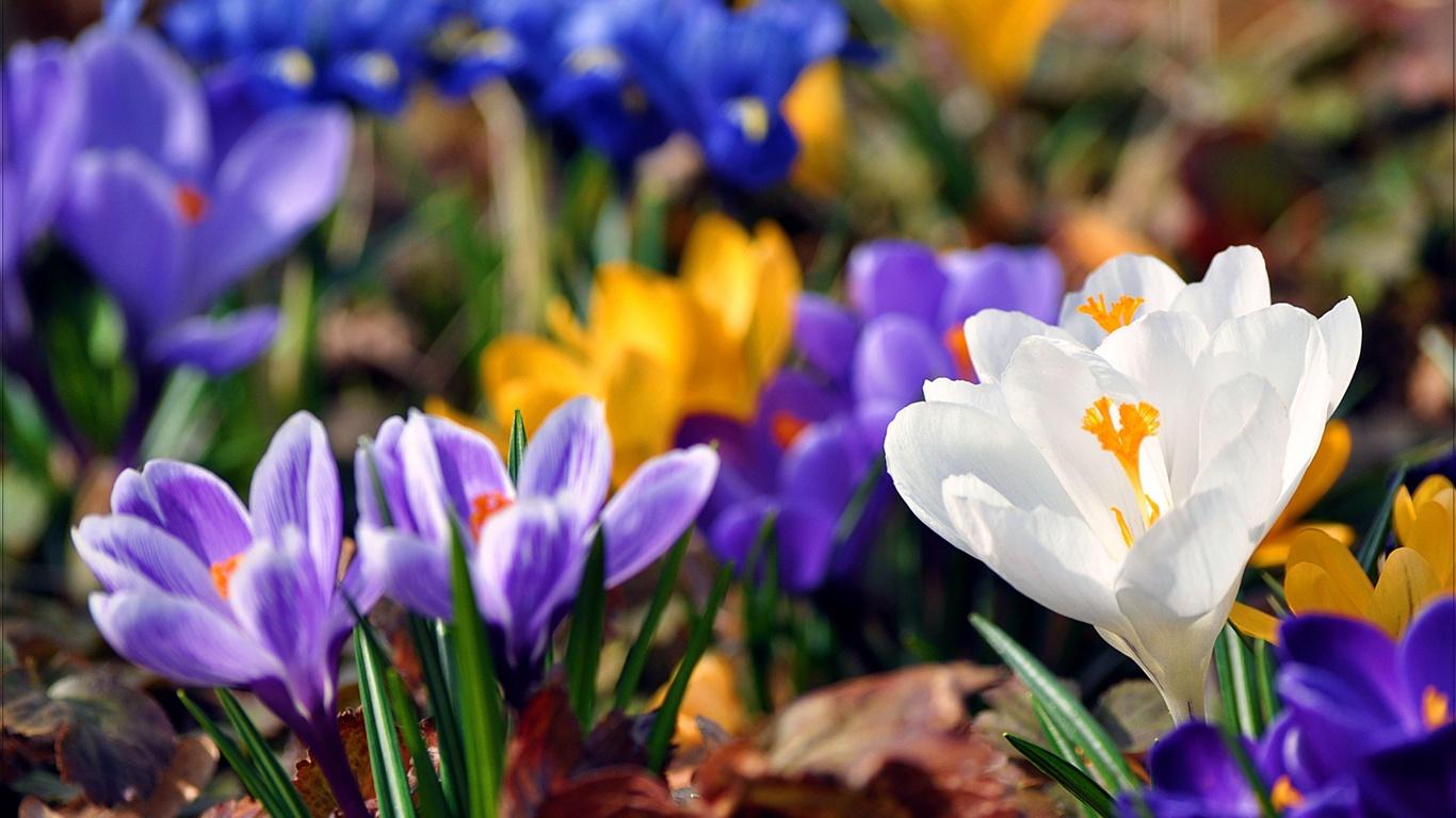 Fleurs de printemps crocus fonds d'écran - 1366x768