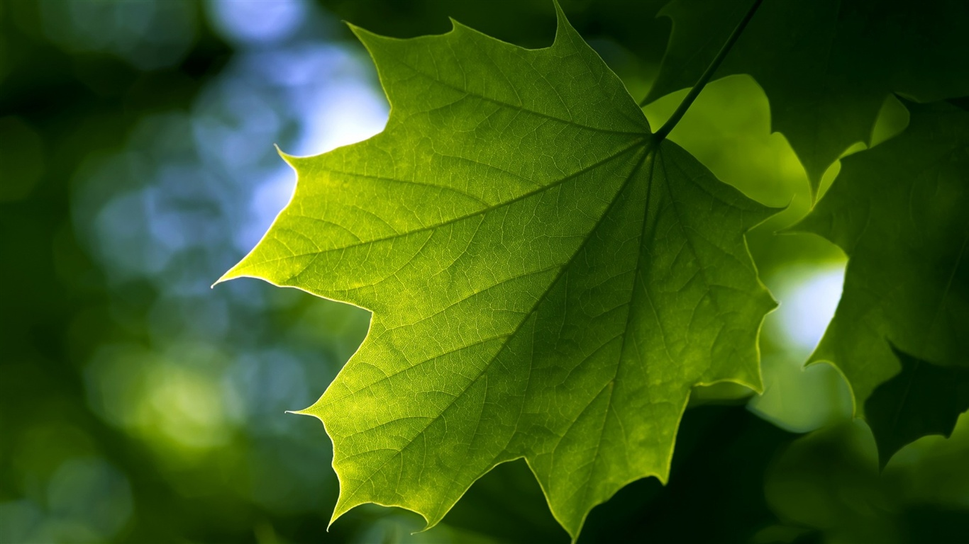 Green maple leaf close-up wallpaper - 1366x768