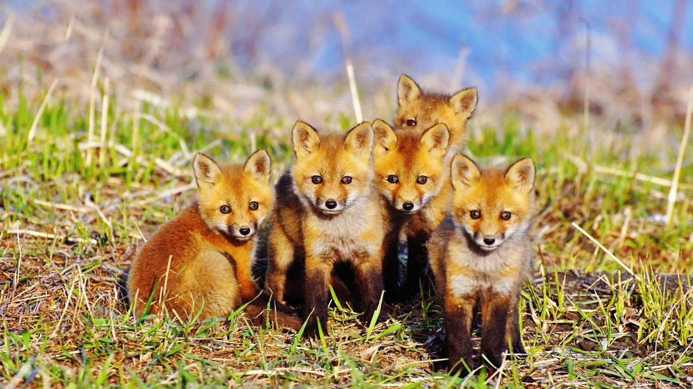 Fonds d 39 cran cinq mignon petit renard 1920x1200 hd image - Renard mignon ...