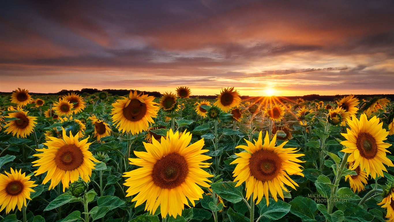 Magic Landscape, Sunflower Garden wallpaper - 1366x768