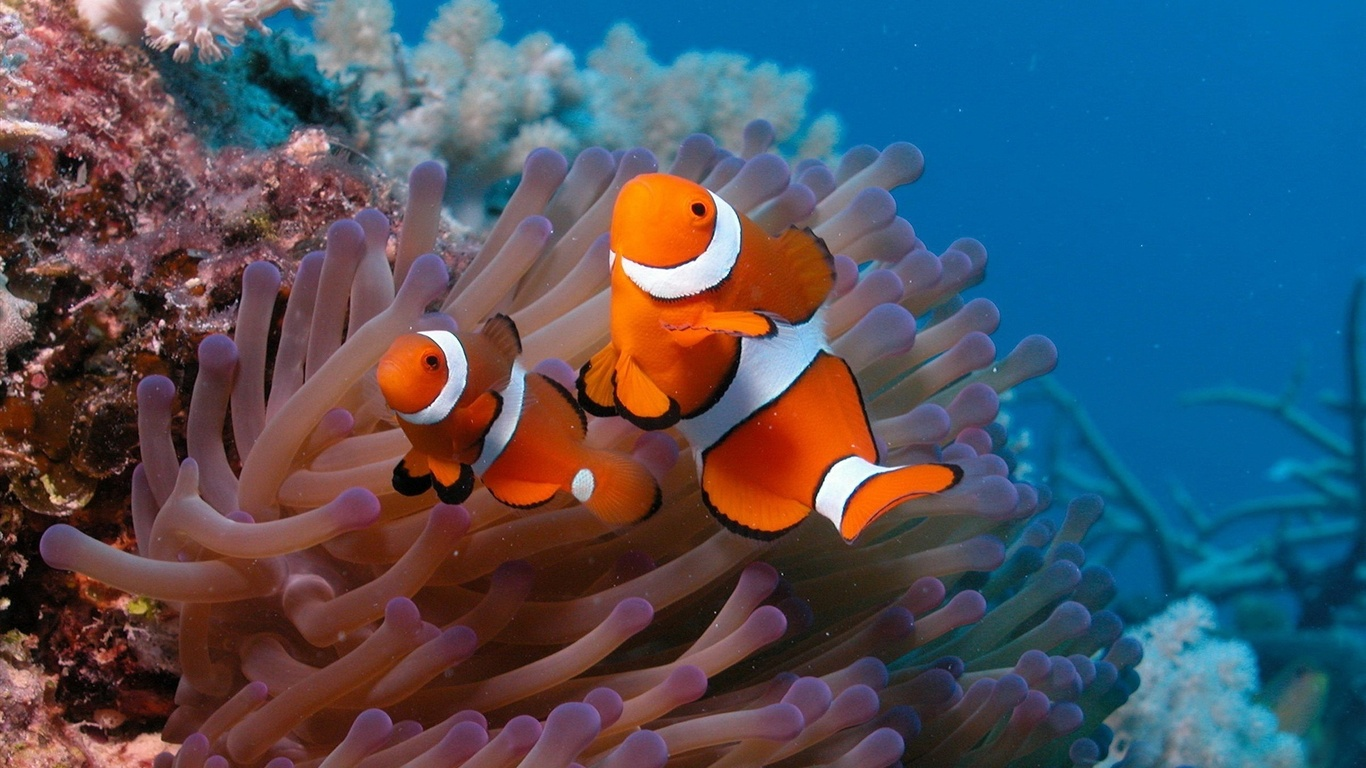 Underwater world beautiful clown fish wallpaper 1366x768