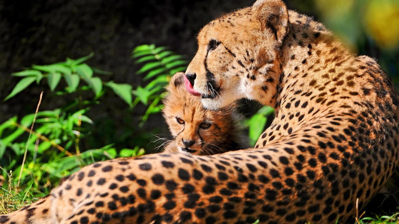 Fonds d'écran Guépard avec sa mère au repos 1680x1050 HD image