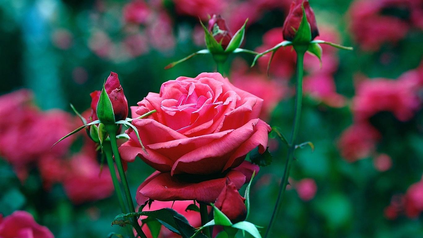 Jard n de rosas rojas en primer plano fondos de pantalla for Cancion jardin de rosas