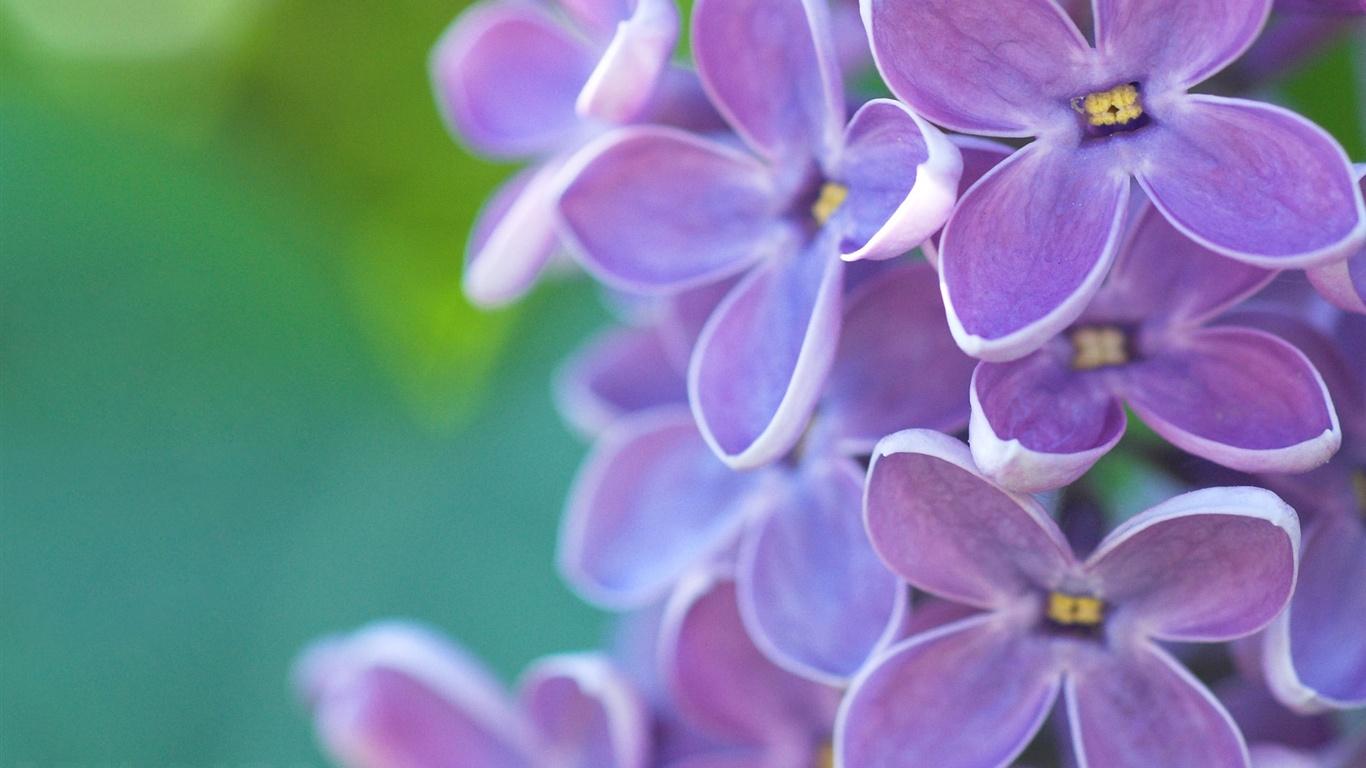 Fleurs lilas macro, vert émeraude fond, le printemps Fonds d'écran ...
