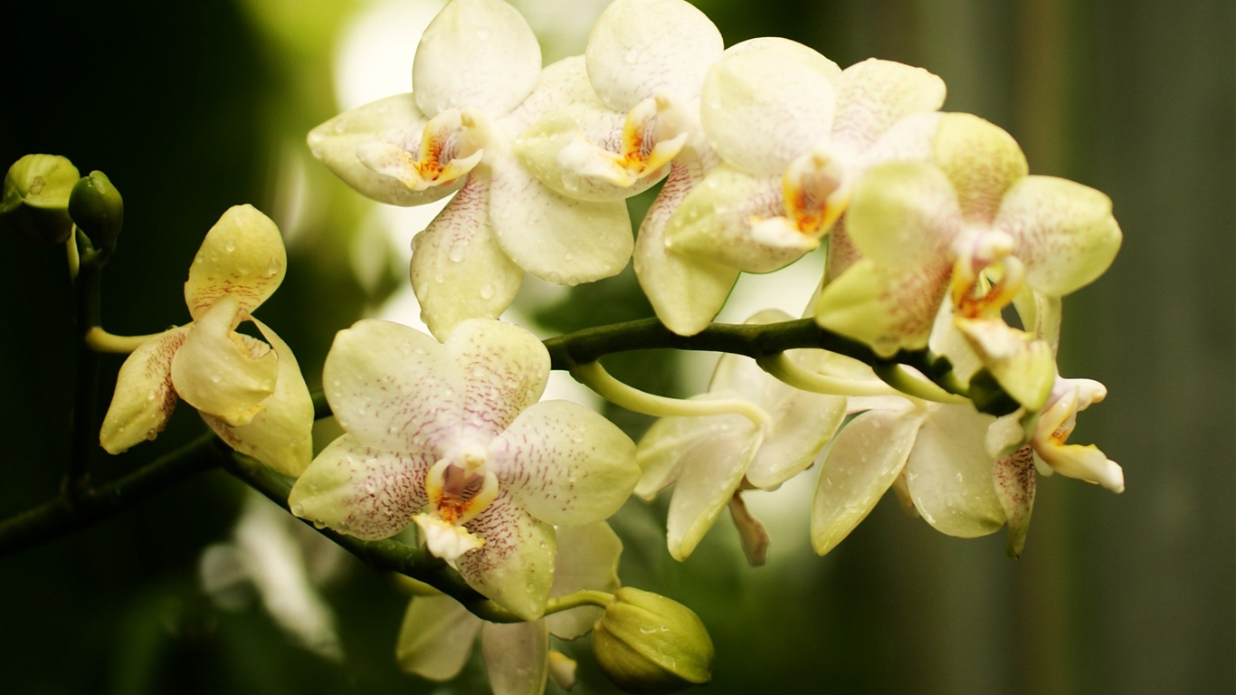 orchids wallpapers best - photo #38
