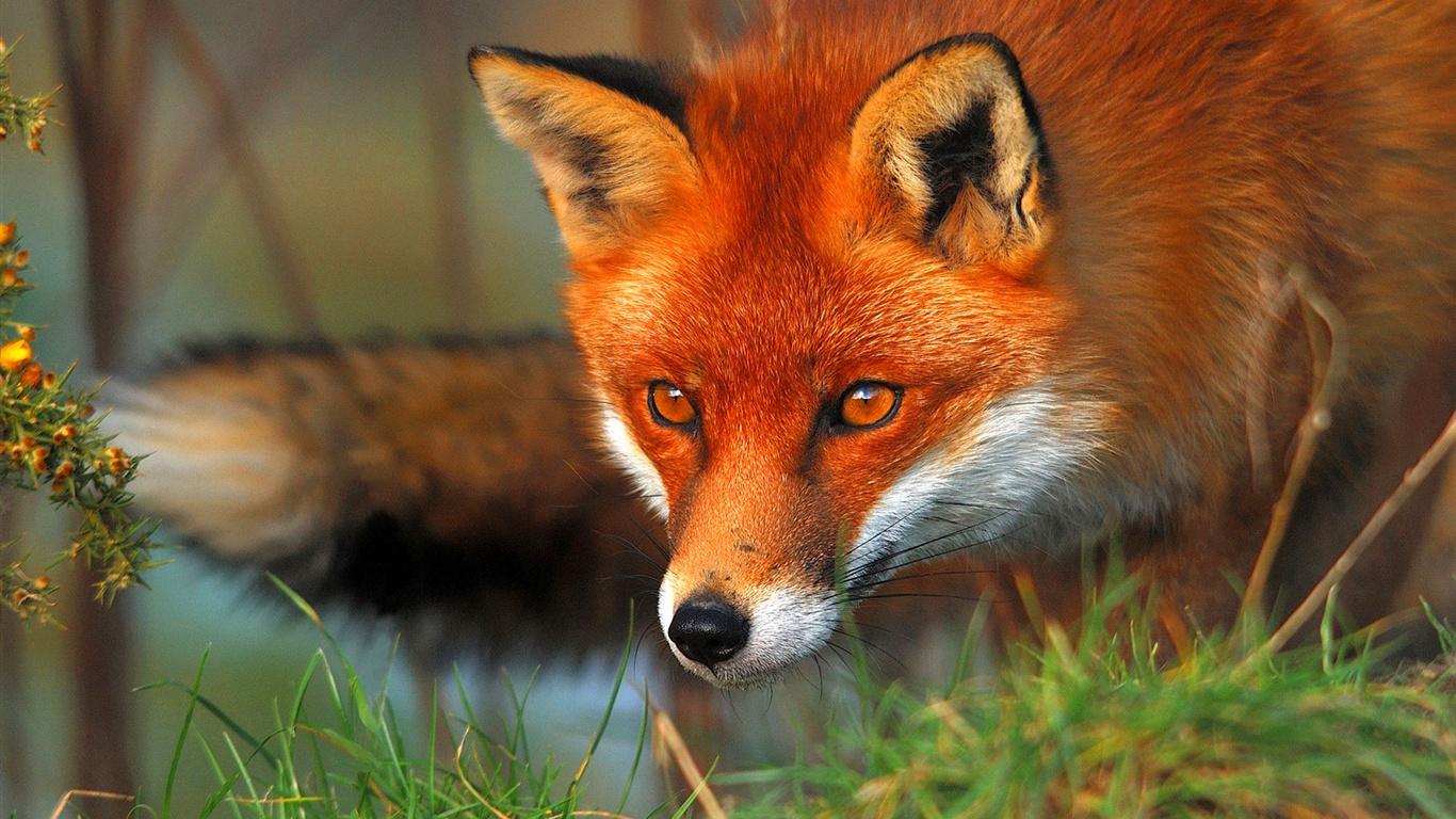壁纸 红狐狸的脸和眼睛 1920x1200 HD 高清壁纸, 图片, 照片