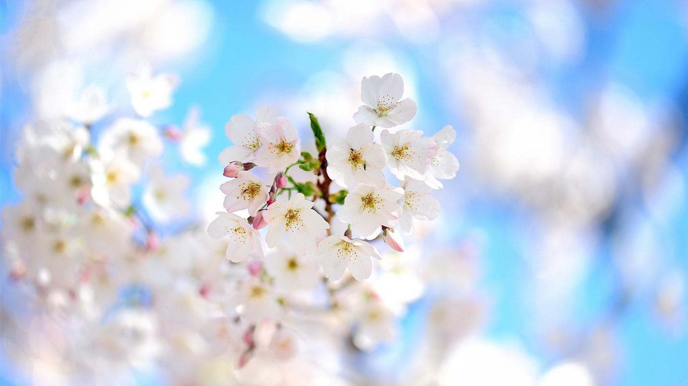 Ramas de primavera flores blancas flor fondos de for Fondo de pantalla primavera