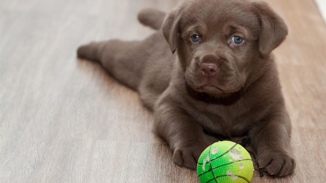 Labrador chiot jeu avec ballon fonds d 39 cran 1366x768 for Fond ecran chiot