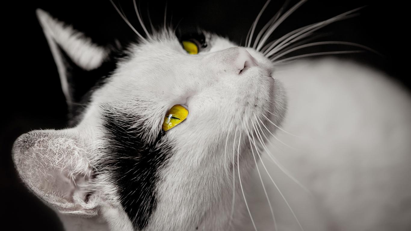 Download Hintergrundbilder 1366x768 Katze, weiße und ...