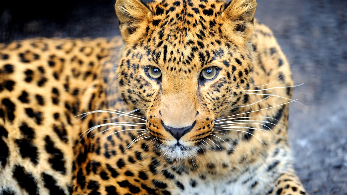 Fondos De Pantalla Depredador Animal, Leopardo, Ojos, Cara