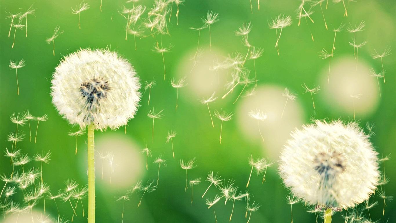 自然,蒲公英,背景虚化,植物,绿色 壁纸 | 1366x7
