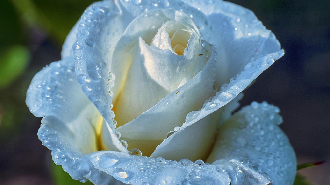 Download Wallpaper 1366x768 Light blue rose, petals, water ...