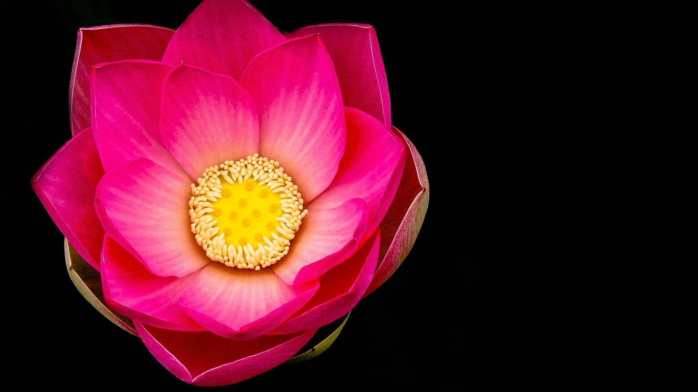 Download Wallpaper 1366x768 Pink lotus flower macro, black ...