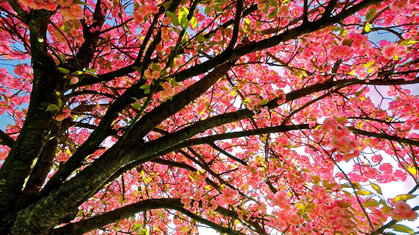 Fondos De Pantalla Flores Rosadas Crisantemo Fondo: Fondos De Pantalla Flores Del árbol, El Estilo De Color