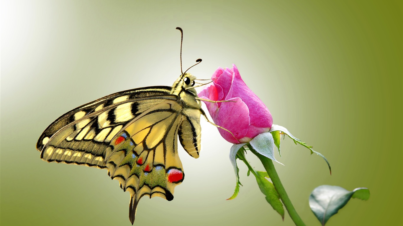 Butterfly and pink rose wallpaper 1366x768